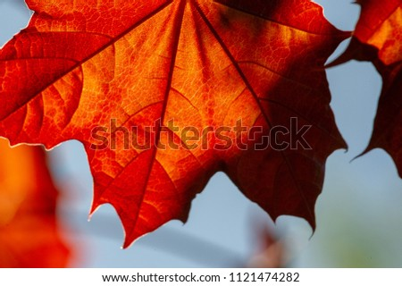 Acer rubrum, the red maple, also known as swamp, water or soft maple, is one of the most common and widespread deciduous trees of eastern and central North America The U.S. most abundant native tree