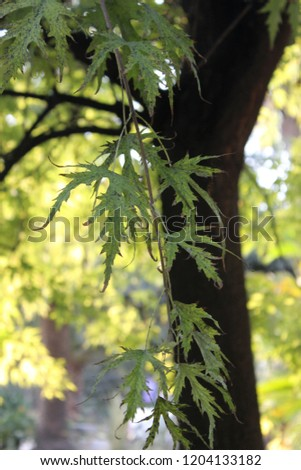 Acer saccharinum, commonly known as silver maple, creek maple, swamp maple, or white maple