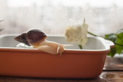 achatina bathing, gastropod taking a bath, snail in the pool, achatina close-up in the water