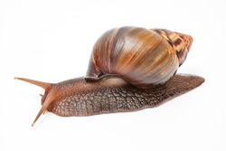 Achatina fulica, giant snail on a white background,