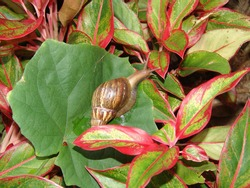 Achatina is a species of snail. A terrestrial gastropod mollusk from the subclass of lung snails.