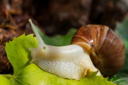 Achatina snail close-up. Green leaf. Macro photo. The surface texture of the snail's body. Snail habitat. Soil in the background. The texture of the green leaf. Snail for Relaxation and cosmetology