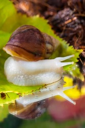 Achatina snail. Close-up. Green leaf. Reflection of a snail and a leaf in the water. Snail habitat. Soil in the background. Green leaf texture. Snail for relaxation and cosmetology. Forest fairy tale