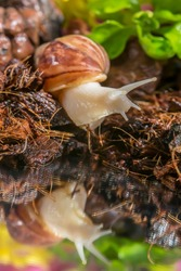 Achatina snail close-up. Snail on the shore of the lake. Reflection of a snail in the water. The texture of the soil and stones. Leaves of a green plant. Green grass on the shore. Snail habitat.