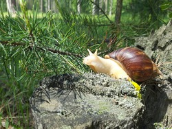 Achatina snail crawling on the forest, the snail in the grass, the snail under natural conditions, a snail on a stump in the forest