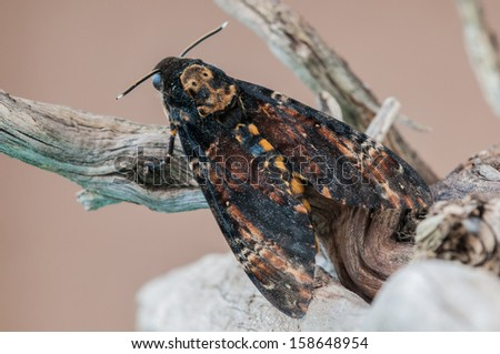 Acherontia atropos, the most widely known of the three species of Death's-head Hawk moth