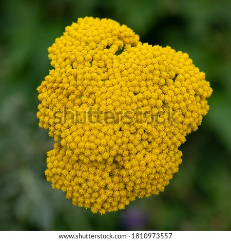 Achillea ageratum, also known as sweet yarrow, sweet-Nancy, English mace or sweet maudlin, is a flowering plant in the sunflower family Сток-фото ©