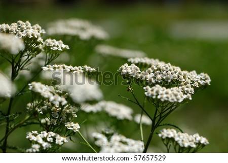 Achillea millefolium - yarrow common herb