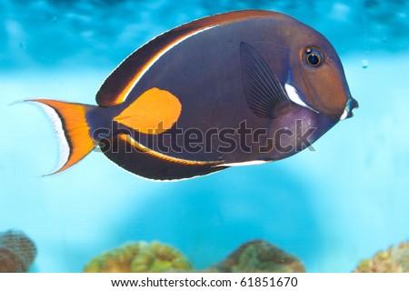 Achilles Tang Price Achilles Tang or Surgeon Fish