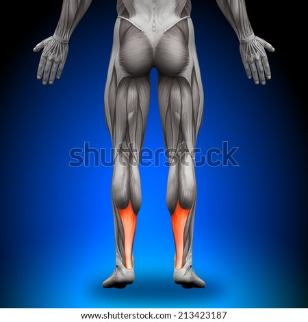 Achilles Tendon Male Anatomy Muscles