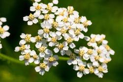 Achollea alpina var longiligulata, Yarrow, Yarrow White, Asteraceae, Honshu - Hokkaido