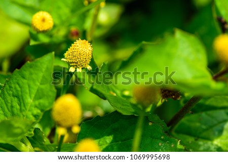 Acmella oleracea (Paracress, Toothache plant, Pellitory, Spot flower) ; Flowering is a bouquet, Yellow clusters, oval and pointed like head of a ring. magenta soft stems. Be both food and medicine.