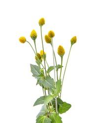 Acmella oleracea ,toothache plant  on white background