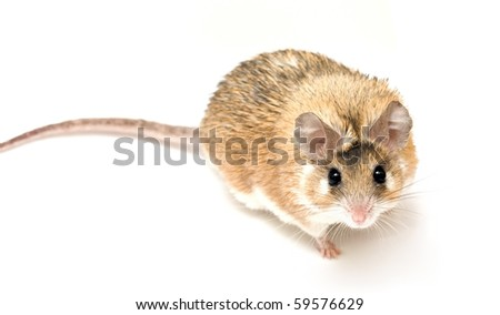 Acomys cahirinus Desmarest (Cairo mouse) on white background