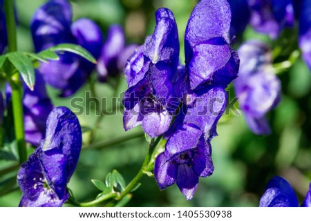 Aconitum, commonly known as aconite, monasticism, wolf wolf, leopard curse, mouse, female curse, devil's helmet, queen of poisons or blue rocket, Most species are extremely poisonous #1405530938