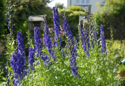 Aconitum napellus, also known as Monkshood or wolf's bane, a poisonous perennial herb, growing in an English cottage garden