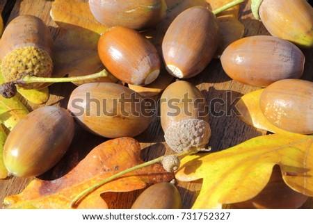 acorn and oak leaves on a...
