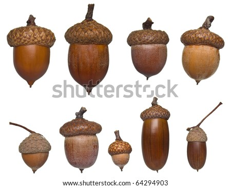 acorn different types and sizes collection isolated on white