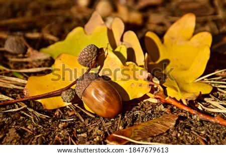 Acorn on autumn leaves view. Acorn fall. Acorn in autumn. Acorn autumn fall