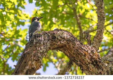 Acorn woodpecker perched on a tree limb in Trione-Annadel State Park in Santa Rosa, California - on a sunny spring day