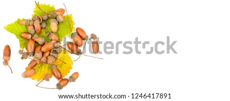 Acorns and oak leaves isolated on white background. Flat lay, top view. Wide photo . Free space for text. #1246417891