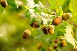 Acorns fruits. Closeup acorns fruits in the oak nut tree against blurred green background.