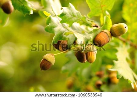 Acorns fruits. Closeup acorns fruits in the oak nut tree against blurred green background. - Shutterstock ID 1060538540