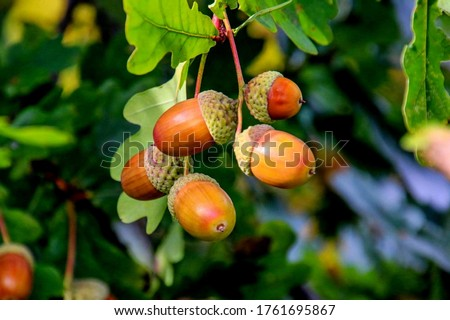 Acorns fruits on oak tree branch in forest. Closeup acorns oak nut tree on green background. Early autumn beginning acorns macro on branch leaves in nature oak forest. Brown nuts for coffee cake bread