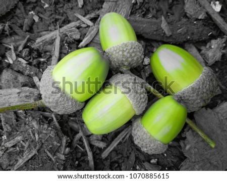 Acorns in The Woods #1070885615