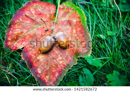 Acorns lying on the autumn leaves in the grass. Harvest time. Rustic style village. Natural photo. #1421582672