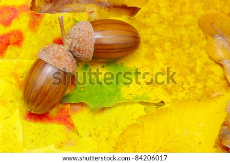 acorns on orange autumn foliage - stock photo