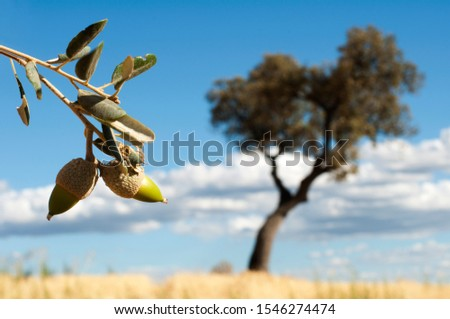 Acorns tree and acorns fruits on foreground.  #1546274474