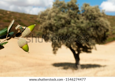 Acorns tree and acorns fruits on foreground.  #1546274477