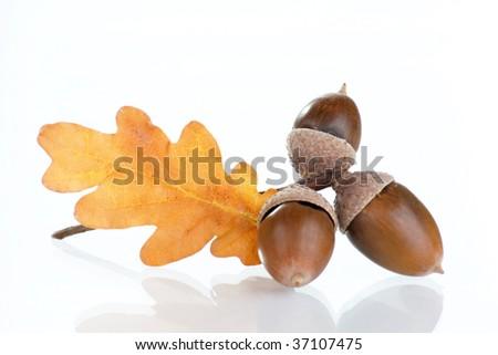 Acorns with an oak leaves
