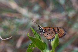 Acraea terpsicore, the tawny coster, is a small, 53–64 millimetres, leathery-winged butterfly common in grassland and scrub habitats. It belongs to the Nymphalidae or brush-footed butterfly family.