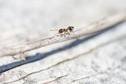 Acrobat Ant on Stem in Springtime