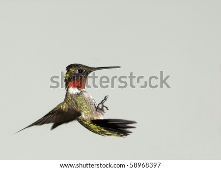 Acrobatic Male Ruby-throated Hummingbird(Archilochus colubris)