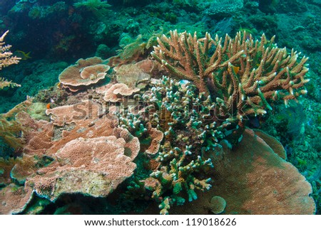 Acropora elseyi and other corals, Bali, indonesia