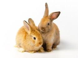 Action of two cute adorable  brown bunny rabbits on white background. Lovely action of adorable baby rabbit