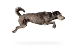 Action photo of dog jumping with all four limbs in air