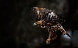 Action photography of Golden Eagle