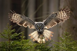 Action scene from the forest with owl. Flying Great Grey Owl, Strix nebulosa, above green spruce tree with dark forest in background.