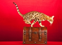 Action shot of Brown spotted tabby Bengal jumping onto wooden treasure box chest on red background