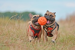 Action shot of two brown French Bulldog dogs with matching clothes running towards camera while holding ball toy together in their muzzles