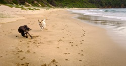 Action shot of two dogs running and playing on a dog off leash beach, exercise and socialisation is important for dogs