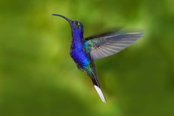 Action wildlife scene from nature. Hummingbird from Costa Rica in tropical forest. Flying big blue bird Violet Sabrewing with blurred green background.