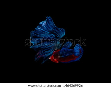 Actions and movements of male and female Thai betta fish that show love to breed on a black background, Halfmoon Betta #1464369926