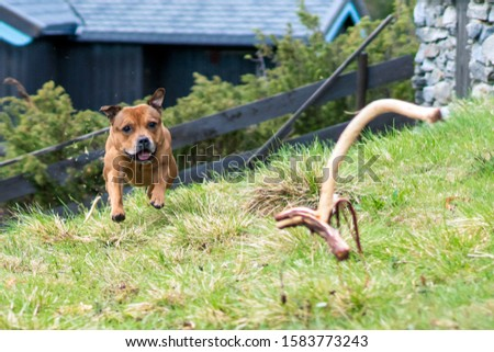 Active and happy Staffordshire bull terrier are running/fetching stick outdoors in nature. Pet photography, dogs, animal and activation concept.