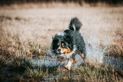 Active australian shepherd dog outside. Tricolour aussie playing in field.