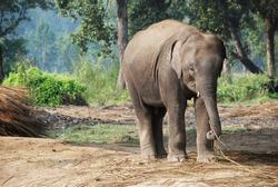 Active baby elephant running around